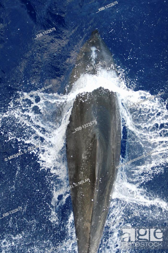 Stock Photo: Adult bottlenose dolphin Tursiops truncatus bow riding the National Geographic Endeavour in the waters surrounding Ascension Island in the south Atlantic Ocean.