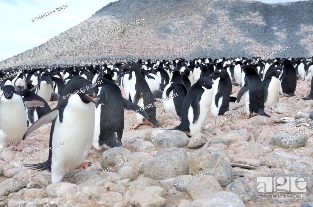 Stock Photo: Adelie penguin colony Paulett Island, Antarctica 20081230 ().