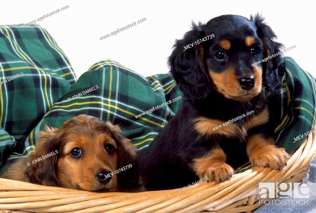 Miniature Long Haired Dachshund Teckel Dog Puppies In Basket Foto De Stock Imagen Derechos Protegidos Pic Mev 10743739 Agefotostock