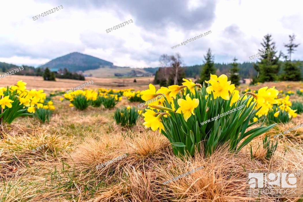 Photo de stock: Wild yellow Narcissus on the mountain meadow and Bukovec hill on background. Jizerka village, Jizera Mounains, Czech Republic.