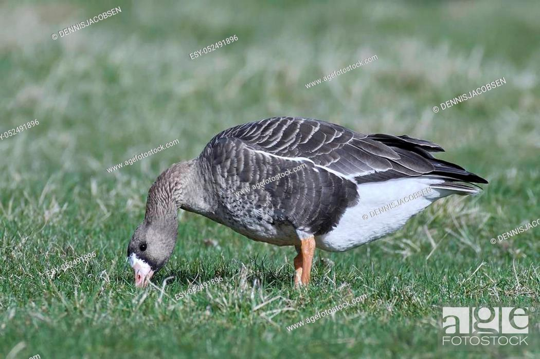 Stock Photo: Greater white-fronted goose looking for food in its habitat.