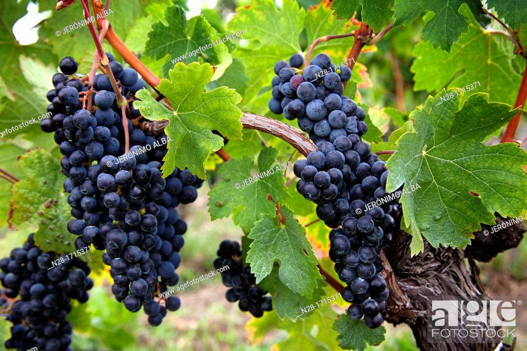 Stock Photo: Vineyards in Chateau St Pierre de Pomerol Bordeaux wines district France.