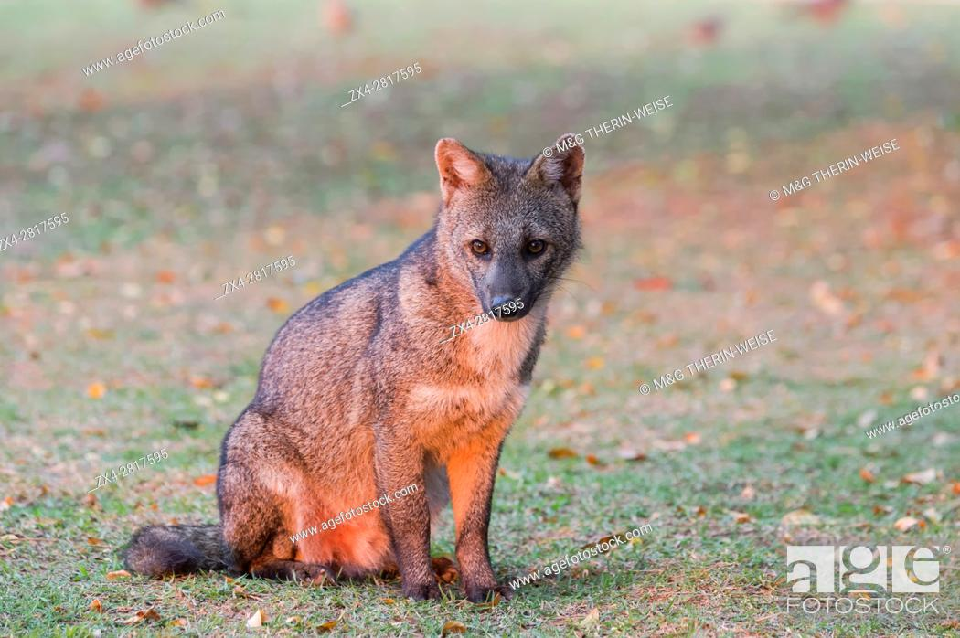 Stock Photo: Crab-eating Fox (Cerdocyon thous) at sunrise, Pantanal, Mato Grosso, Brazil.