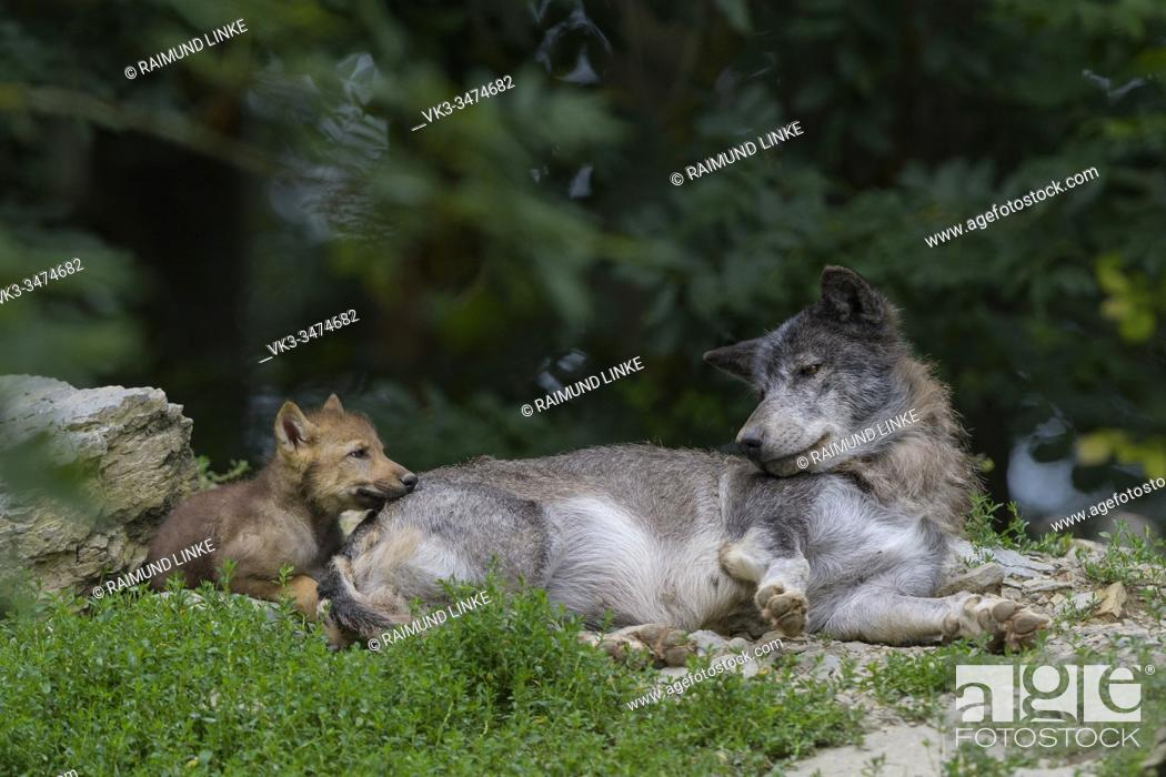 Imagen: Wolf, Canis lupus, adult with cub.