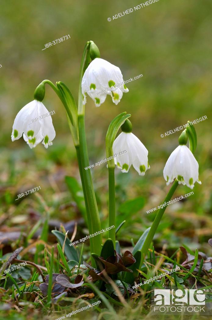 Stock Photo: Spring Snowflake (Leucojum vernum), Tyrol, Austria.