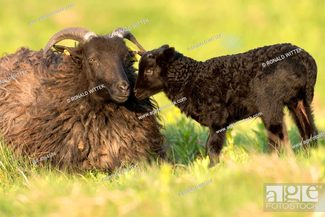 Stock Photo: Heidschnucke, moorland sheep (Ovis ammon f.aries) with lamb in meadow, Schleswig-Holstein, Heligoland, Germany.
