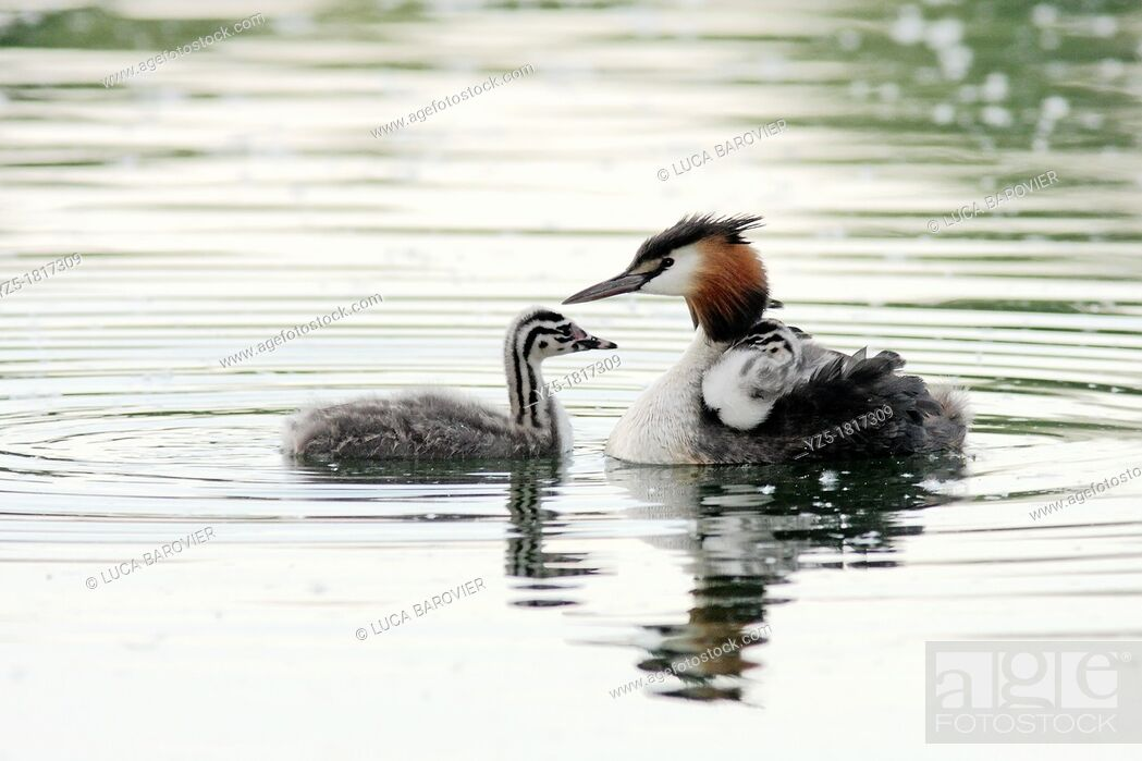 Stock Photo: Great crested grebe with chick - Milan, Italy - Parco delle Cave.