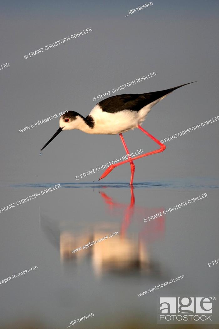 Stock Photo: Black-winged stilt (Himantopus himantopus) searching for food, Lake Neusiedl, Austria, Europe.