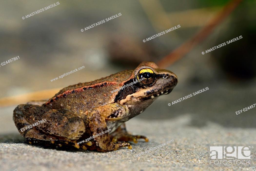 Stock Photo: Agile frog Rana dalmatina, Greece.