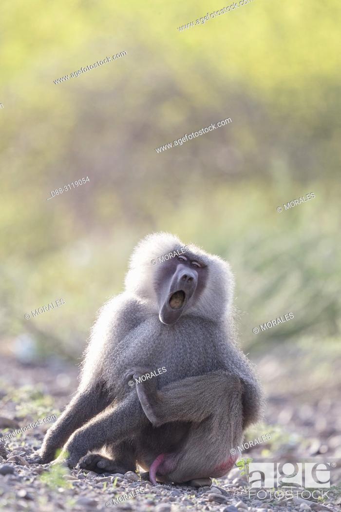 Stock Photo: Africa, Ethiopia, Rift Valley, Awash, Hamadryas baboon (Papio hamadryas), Dominant male.