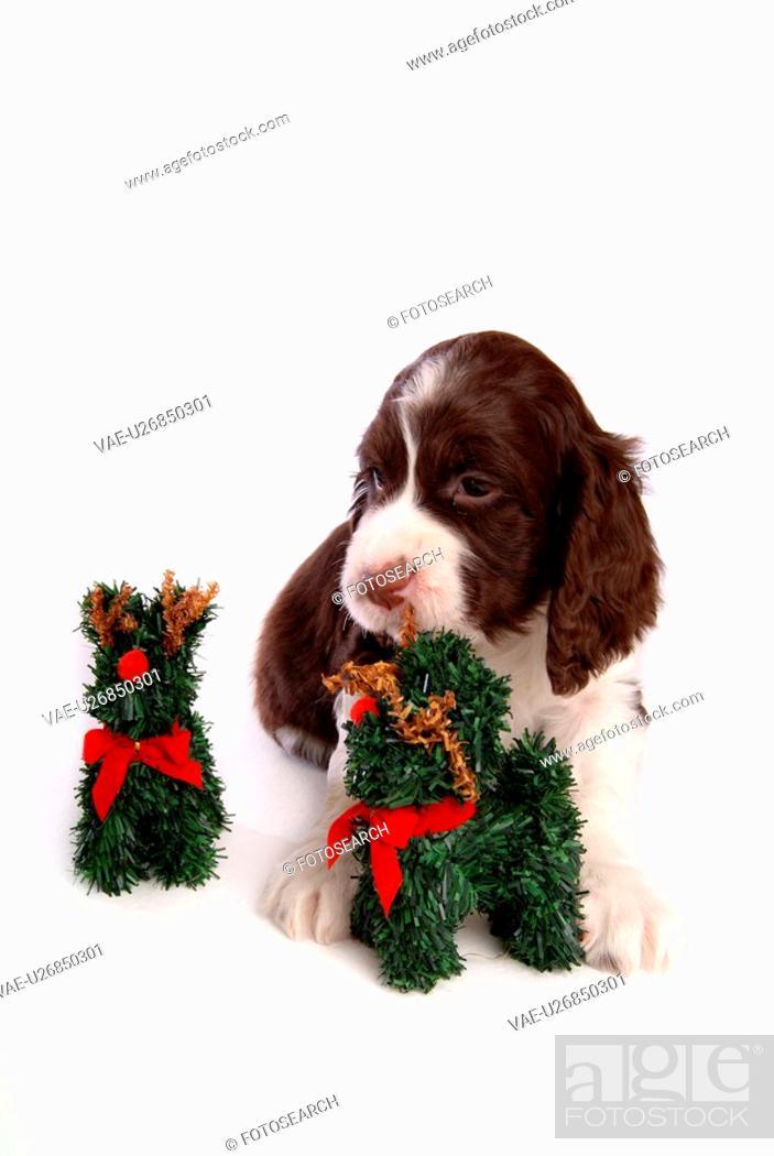 Photo de stock: house pet, springer spaniel, canines, domestic, spaniel, english springer spaniel.
