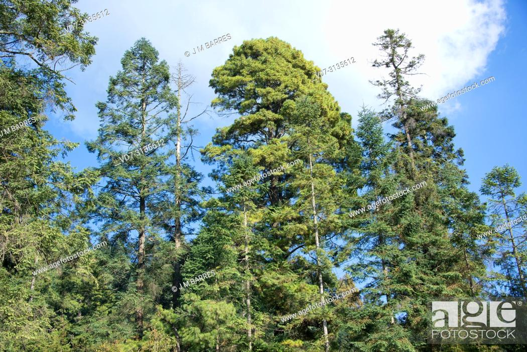 Oyamel Or Sacred Fir Abies Religiosa Is A Coniferous Tree Native