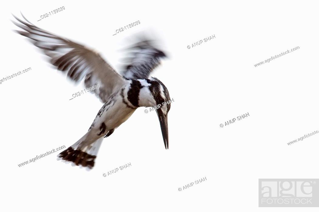 Stock Photo: Pied Kingfisher (Ceryle rudis) hovering, Maasai Mara National Reserve, Kenya.
