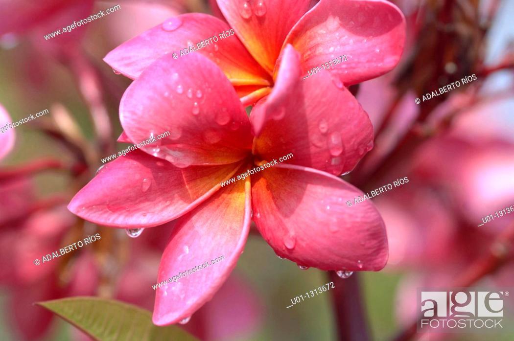 Stock Photo: Frangipani (Plumeria rubra), Mexico.