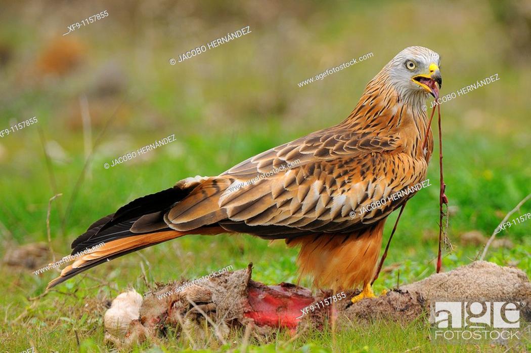 Stock Photo: Red kite. Milvus Milvus. Badajoz province. Extremadura. Spain.