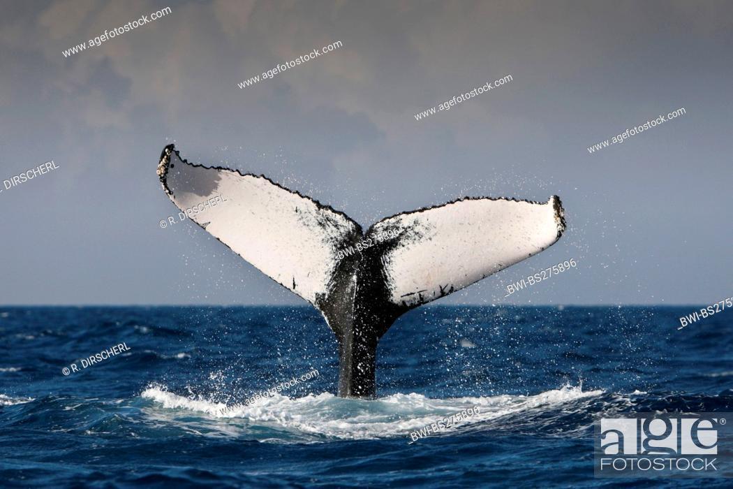 Stock Photo: humpback whale (Megaptera novaeangliae), Fluke, Dominican Republic, Silver Bank.