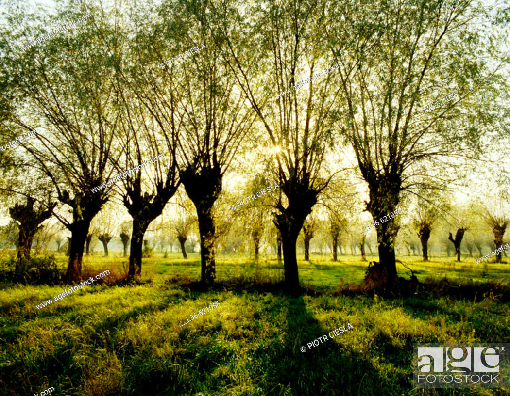 Stock Photo: Willows are very popular trees in the Mazowsze region.