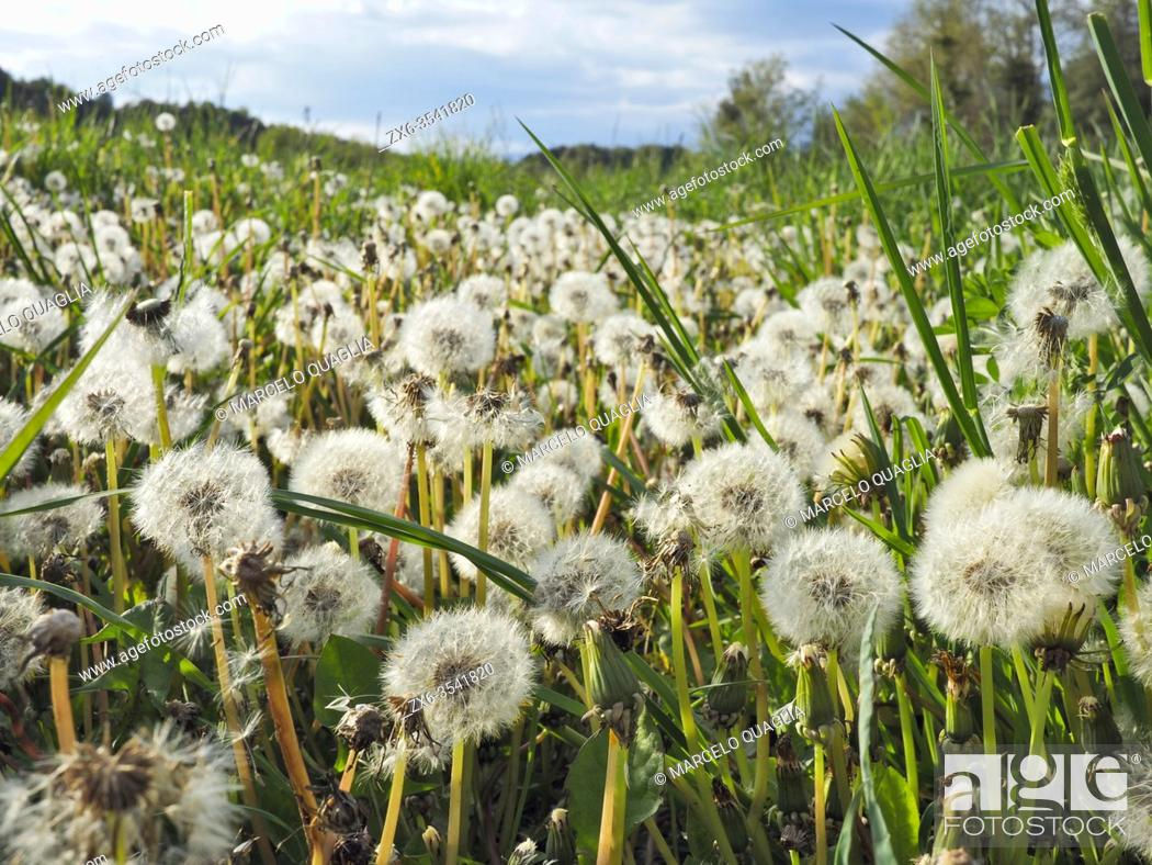 Stock Photo: Dandelion seeds (Taraxacum officinale). Santa Eulàlia village countryside. Lluçanès region, Barcelona province, Catalonia, Spain.