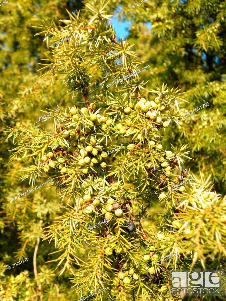 Stock Photo: Reife und grüne Beeren im Winter.
