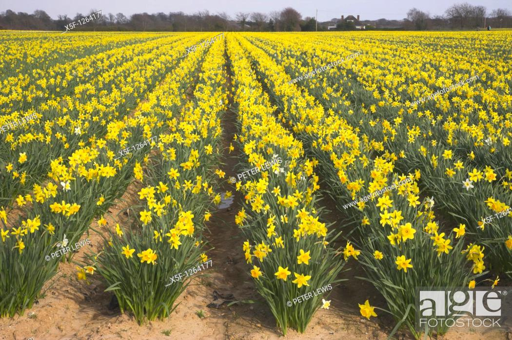 Stock Photo: Field of Daffodils Titchfield Hampshire.
