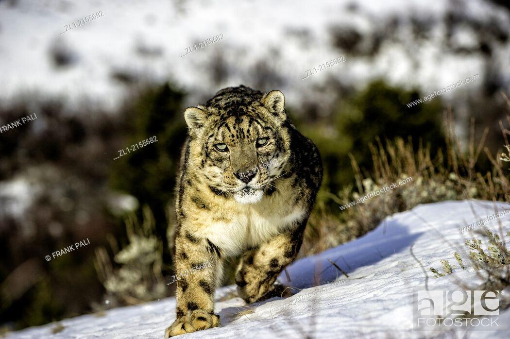 Stock Photo: Snow leopard Panthera uncia or Uncia uncia, Bozeman, Montana, USA.