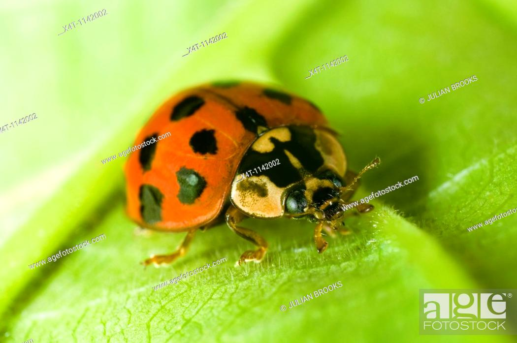 Stock Photo: Close up of the Harlequin ladybird Harmonia axyridis in a garden in the UK.