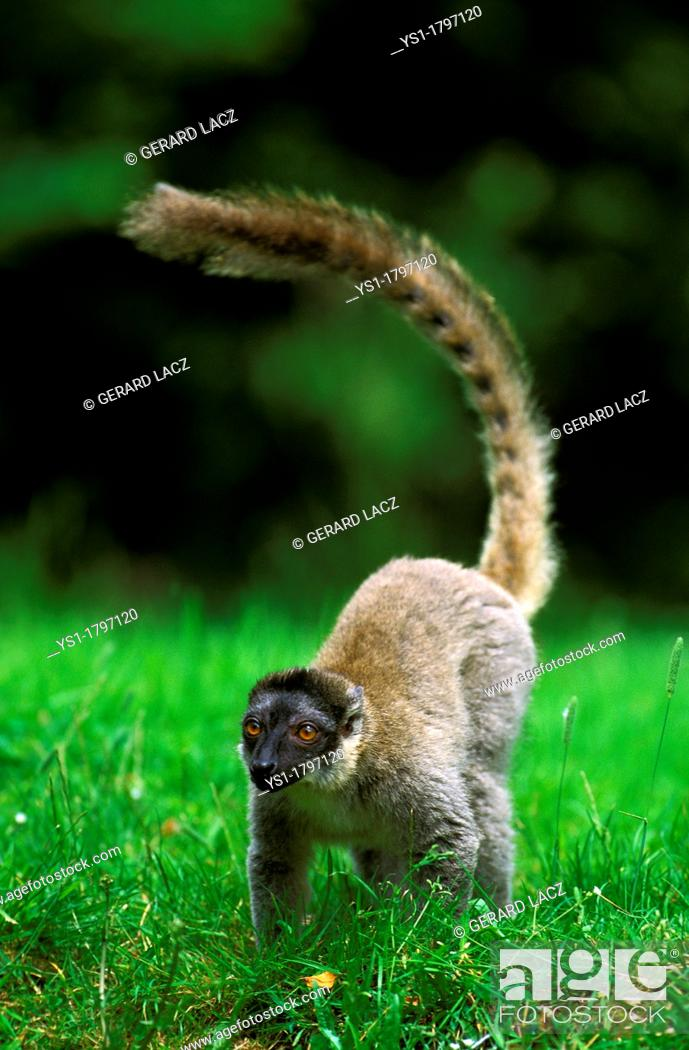 Stock Photo: Mayotte Brown Lemur, lemur fulvus mayottensis, Adult standing on Grass.