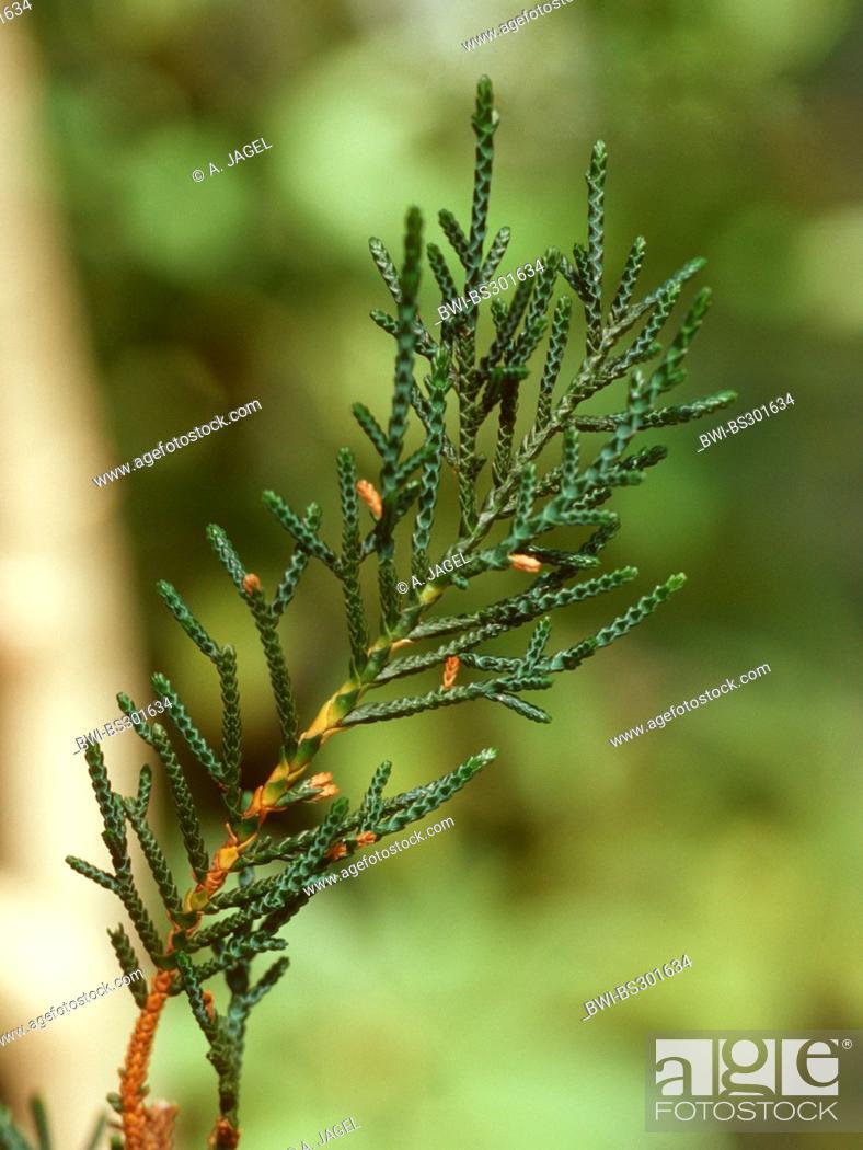 Stock Photo: Creeping pine, Microcachrys (Microcachrys tetragona ), branch.
