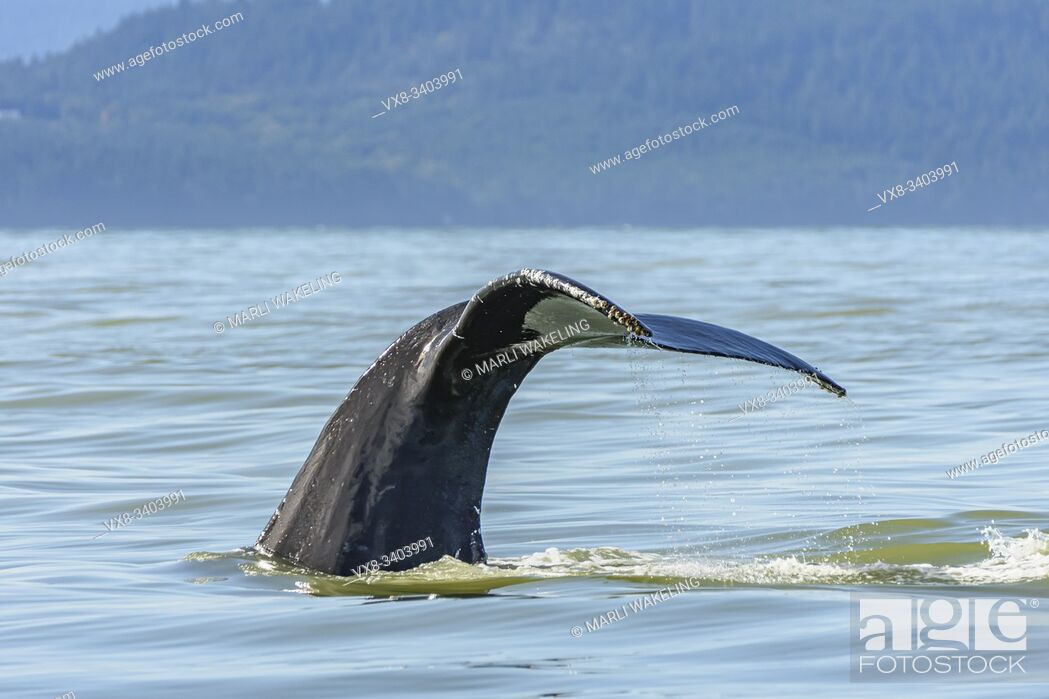 Stock Photo: Humpback whale, Megaptera novaeangliae, Salish Sea, British Columbia, Canada, Pacific.