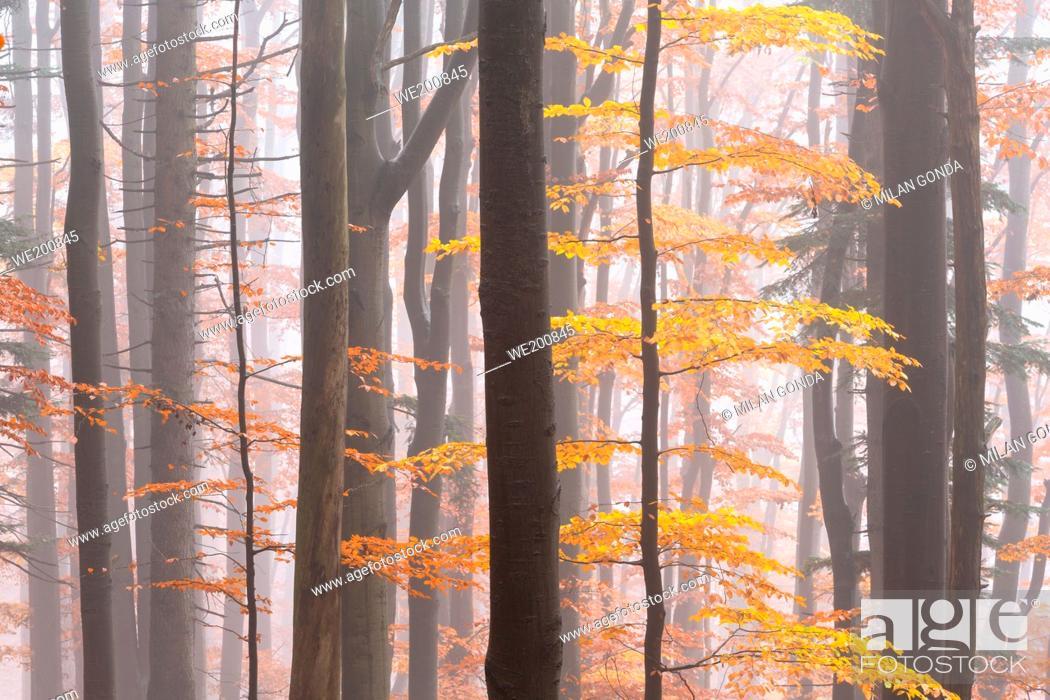 Stock Photo: Beech forest in Mala Fatra national park on a foggy morning, Slovakia.