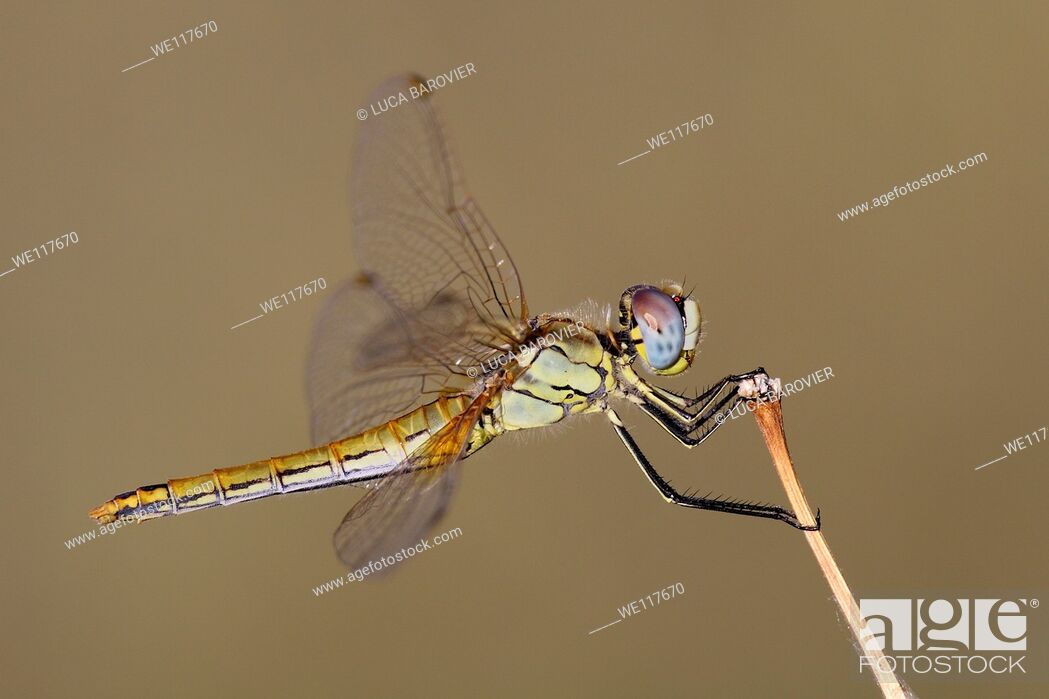 Stock Photo: Scarlet Dragonfly, Crocothemis erythraea, female - Italy.