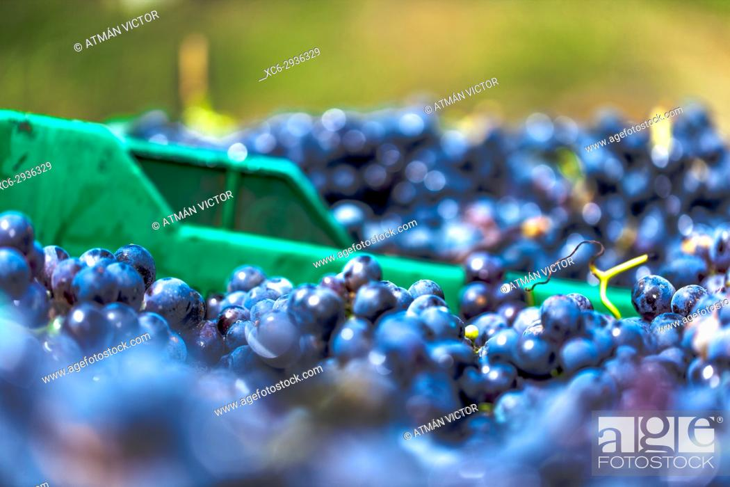 Stock Photo: macro detail of black grape clusters piled up in a basket.