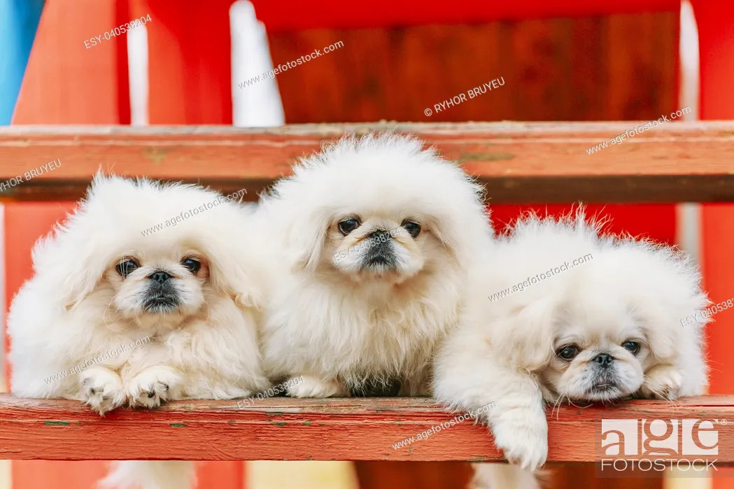 Stock Photo: Three White Puppies Pekingese Pekinese Peke Whelps Puppy Dog Sitting On Wooden Bench In Autumn Park.