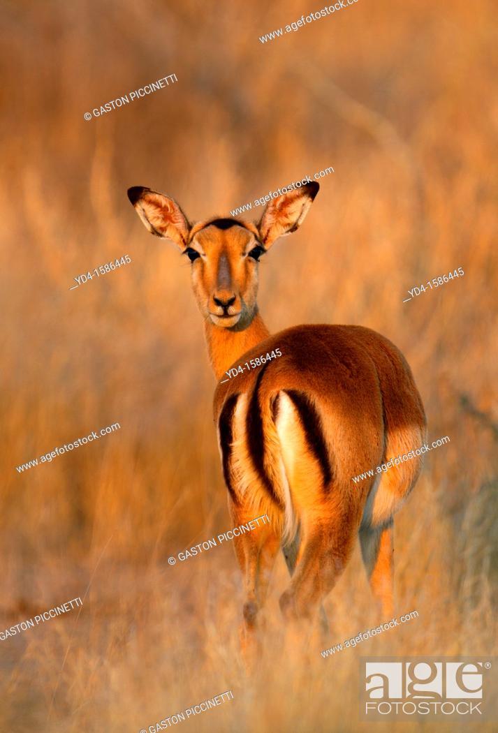 Stock Photo: Impala Aepyceros melampus, Kruger National Park, South Africa.