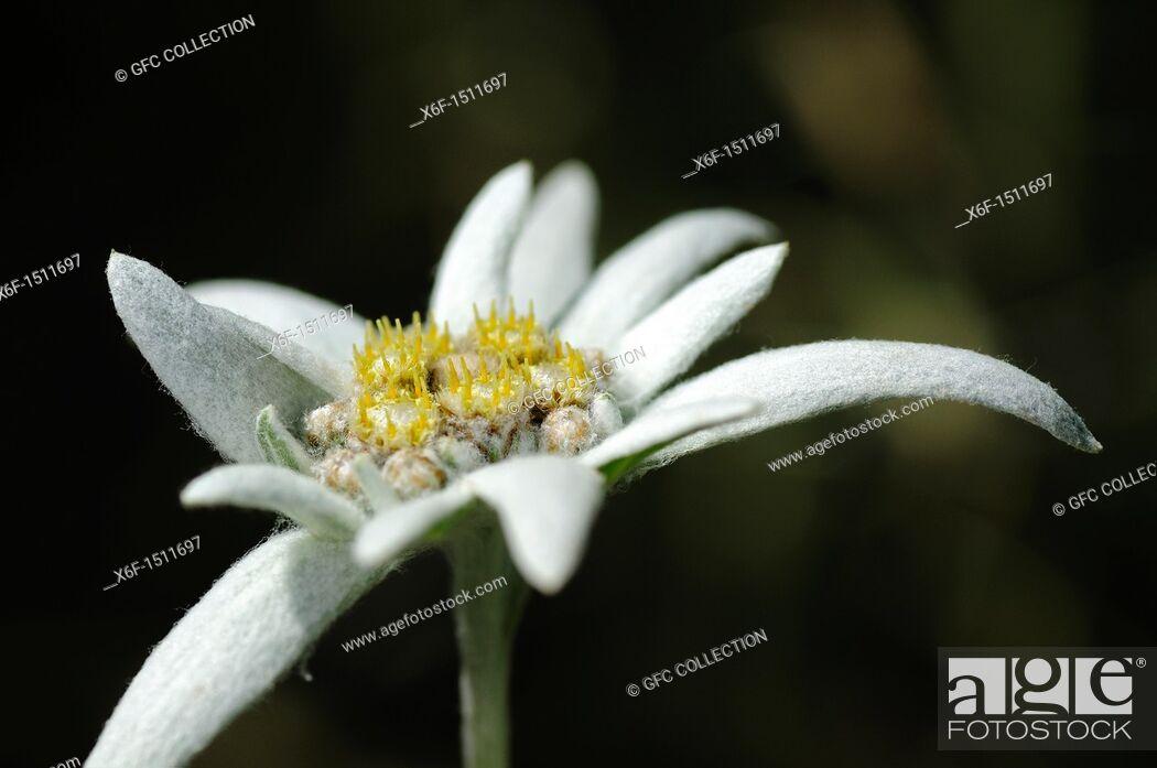Stock Photo: Edelweiss cultivar Helvetia, Leontopodium alpinum cultivar Helvetia.
