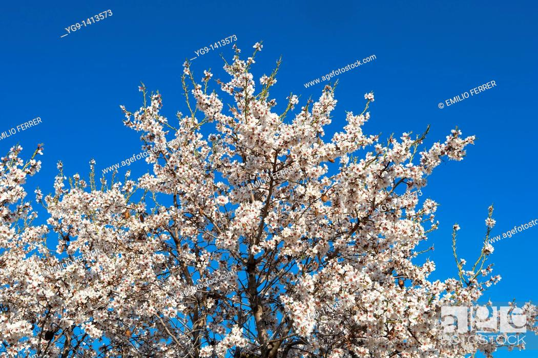 Stock Photo: Almond trees with flowers in spring.