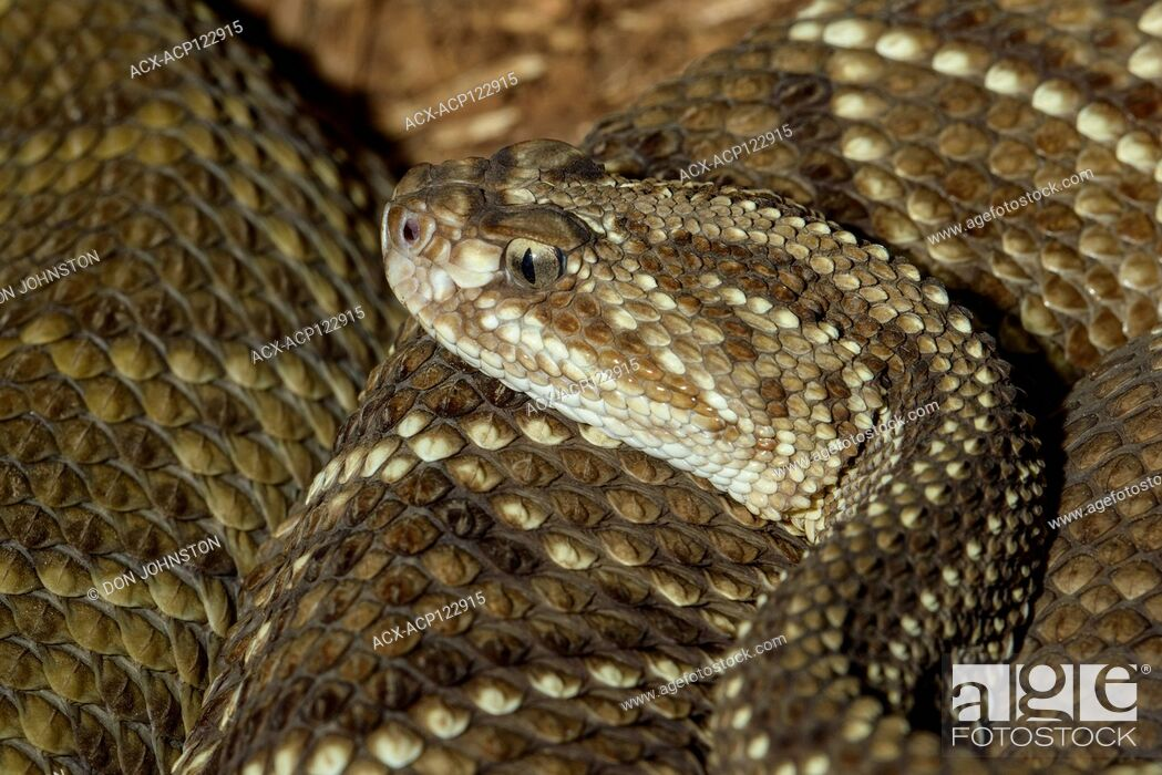 Stock Photo: Neotropical rattlesnake (Crotalus durissus) Captive. Native to Central and South America, Reptilia reptile zoo, Vaughan, Ontario, Canada.
