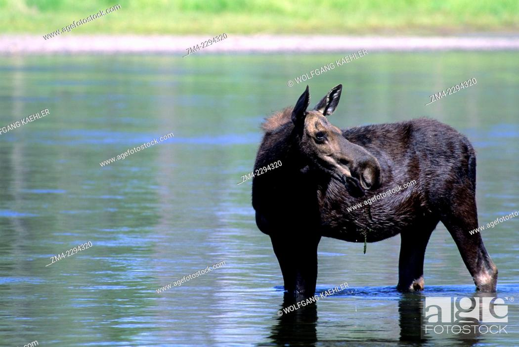 Stock Photo: A moose cow is feeding in Henrys Fork at Harriman State Park in the Targhee National Forest in Idaho, USA.