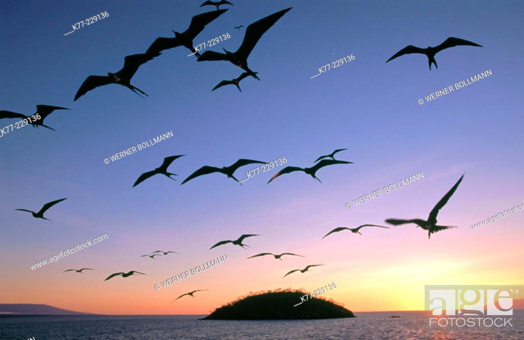 Stock Photo: Frigate Birds (Fregata sp.). Fernandina. Galápagos Islands.