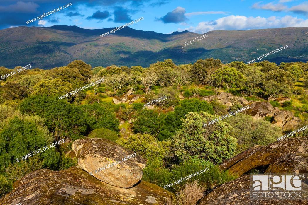 Photo de stock: HOLM OAK Quercus ilex, Valley of the Ambroz river, Cáceres, Extremadura, Spain, Europe.