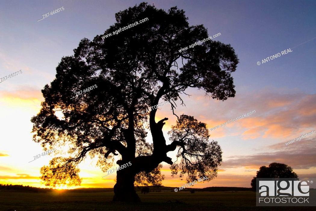 Stock Photo: Centennial oak tree at sunset (Quercus ilex). Almansa, Albacete province, Spain.