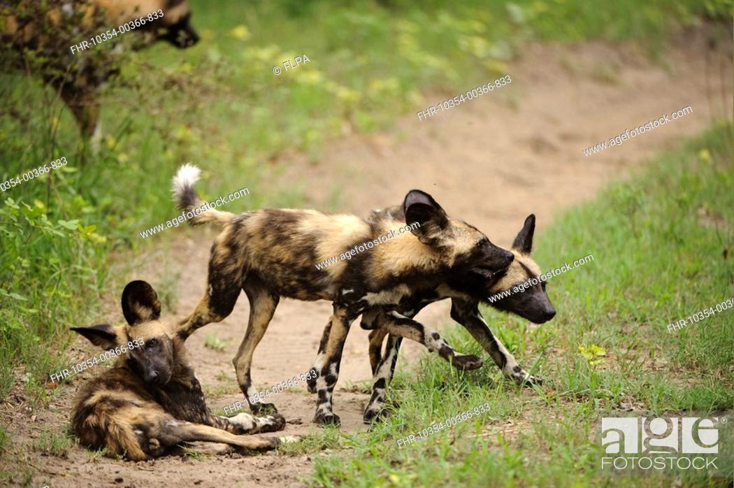 Stock Photo: African Wild Dog Lycaon pictus three pups, playing on track, Kwando Lagoon, Linyanti, Botswana.