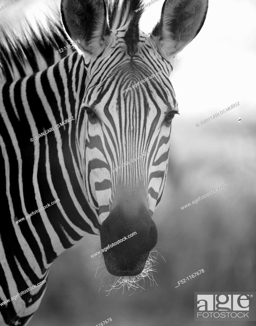Stock Photo: Mountain Zebra (Equus zebra).