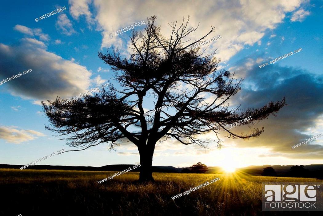 Stock Photo: Pine (Pinus sylvestris). Cantalojas. Sierra de Ayllón. Guadalajara. Spain.