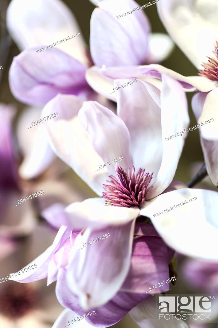 Photo de stock: Close up of magnolia flowers.