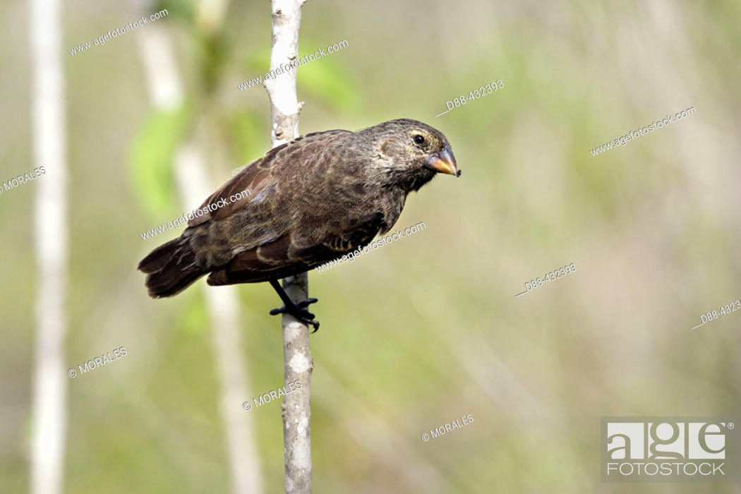 Stock Photo: Medium Ground Finch (Geospiza fortis) female. Santa Cruz island, Galapagos Islands. Ecuador.