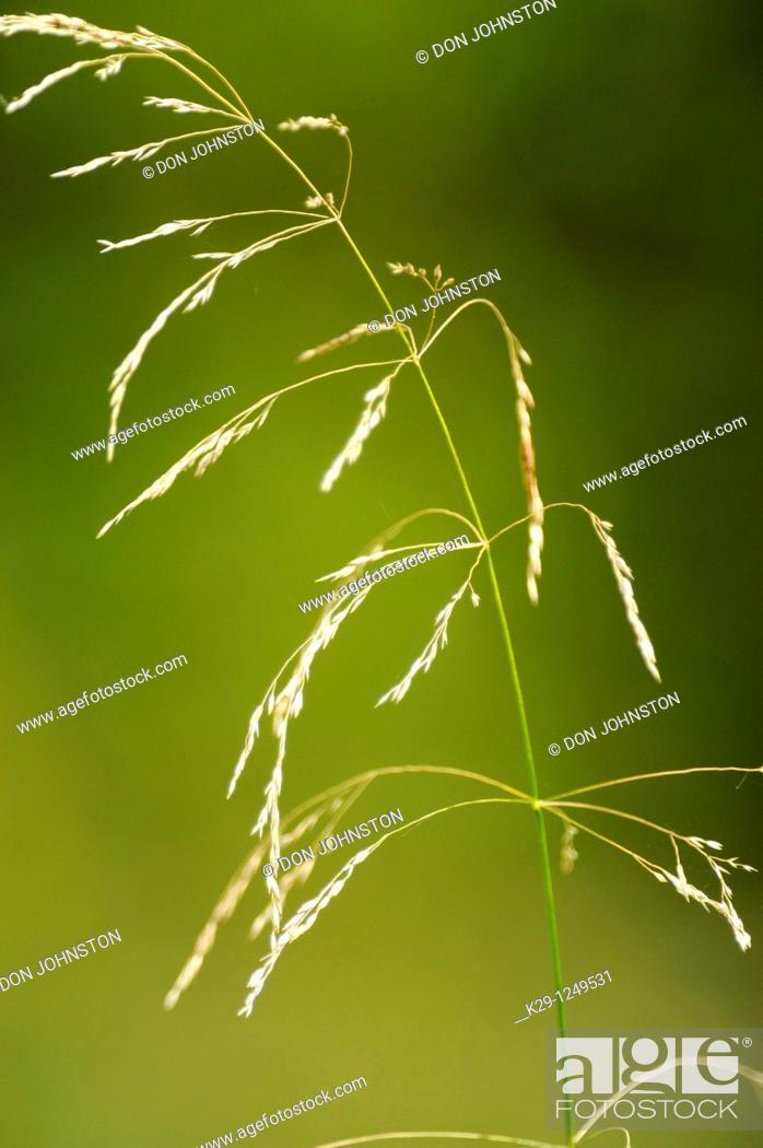 Stock Photo: Grass seed head.