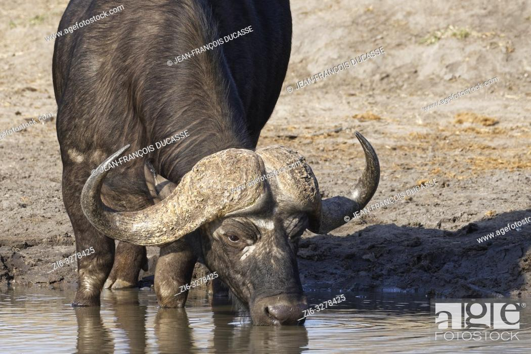 Stock Photo: African buffalo (Syncerus caffer), adult male, drinking at a waterhole, Kruger National Park, South Africa, Africa.