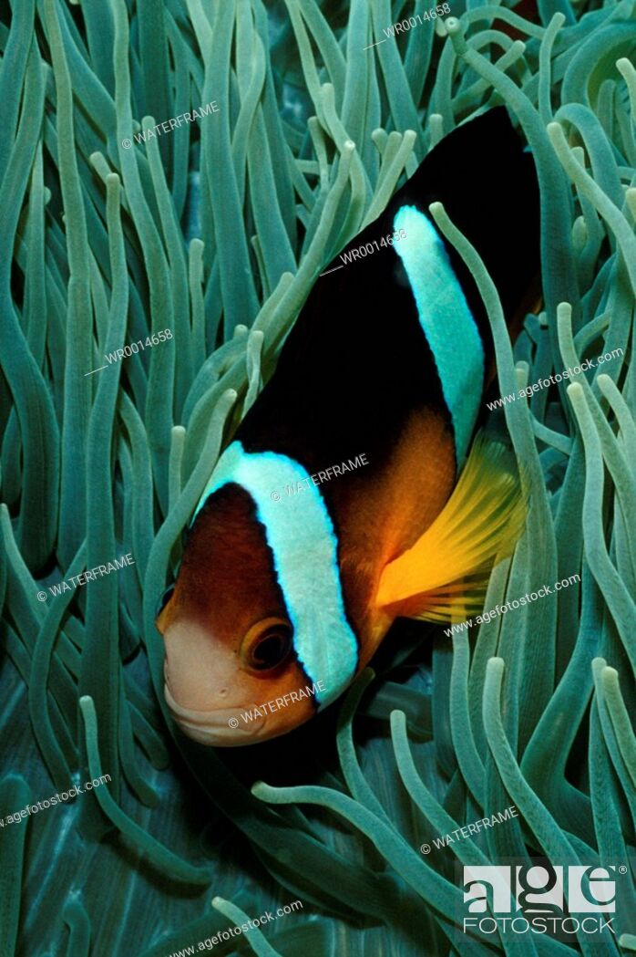 Imagen: Clarks Anemonefish, Amphiprion clarkii, Pacific, Micronesia, Palau.