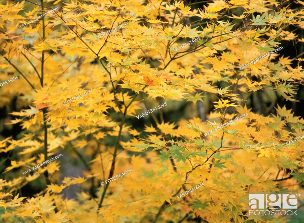 Stock Photo: Maple Turned Yellow.